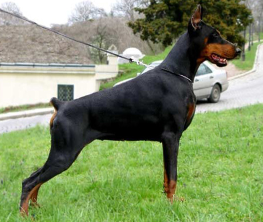 Big Doberman